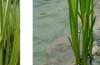Аир болотный
