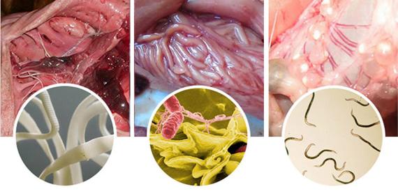 Признаки глистов в организме